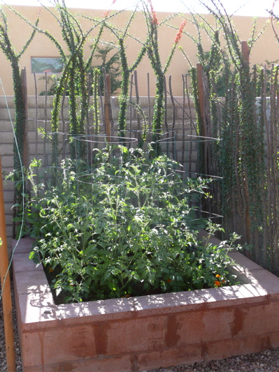 Small tomato plants, from a gentler time